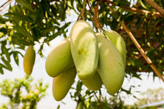 Mango tree with full of fruits Royalty Free Stock Images