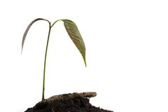 A mango tree growing in a black soil Stock Photo