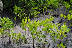 Mango tree growing in salty terrain Stock Photo