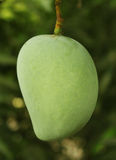 Mango on tree Stock Photography