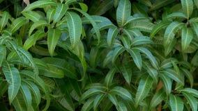 Mango tree leaves blowing in breeze, 4K stock video footage