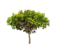 Mango tree (Mangifera indica) Royalty Free Stock Images