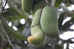 Mango on tree, Mangiforia indica linn, Thai call Lin Nguhao. royalty free stock photos