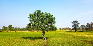 Mango tree in the middle of rice fields royalty free stock photos