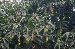 Mango on the tree Stock Photography