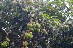 Mango on the tree Stock Images