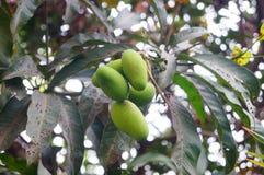 Mango on the tree Royalty Free Stock Photo