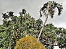 Mango Tree and Palm Tree Swaying in the Wind Royalty Free Stock Photos