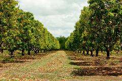 Mango tree plantation. Mango trees with fruit in a plantation in tropical Northern Territory, Australia Stock Photography