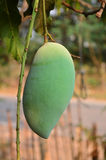 Mango on the tree Royalty Free Stock Images