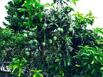 Mango in mango tree surrounded with mango leafs. Langra Aam stock photography