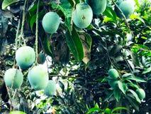 Mango in mango tree surrounded with mango leafs. Langra Aam stock image
