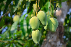 Mango On Tree Of Thailand. Southeast Asia Royalty Free Stock Image