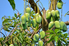Mango On Tree Of Thailand Royalty Free Stock Image