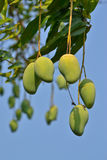 Mango On Tree Of Thailand Stock Photo