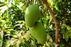 Mango Tree Royalty Free Stock Photos
