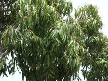 A mango tree in the windward islands. A tropical fruit tree blowing in a balmy breeze on an island in the caribbean stock footage