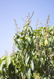Mango tree Stock Photography