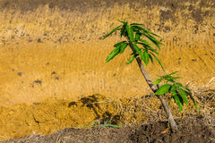 Mango trees ground Royalty Free Stock Images