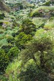 Mango trees and sugarcane plants in the lush green valley on Santa Antao Island. Cape Verde royalty free stock image