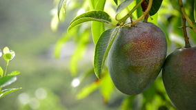Mango tropical fruit in branch of tree stock footage