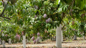 Mango tropical fruit hanging at branch in a plantation full of mangoes. Mango tropical fruit hanging at branch of tree in a plantation stock video footage