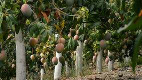 Mango tropical fruit hanging at branch in a plantation full of mangoes trees. Mango tropical fruit hanging at branch of tree in a plantation stock video footage