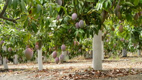 Mango tropical fruit hanging at branch of tree in plantation of fruit trees. Mango tropical fruit hanging at branch of tree in a plantation stock video footage