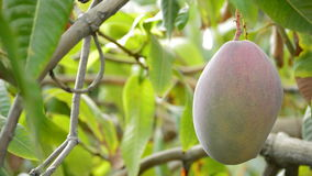 Mango tropical fruit hanging of peduncle at branch of tree. Mango tropical fruit hanging at branch of tree in a plantation stock video