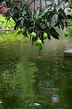 Mango und Goldfisch Stockfotos