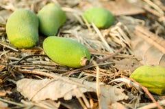 Mango verde Fotografia Stock
