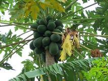 Mango verde Fotografia Stock Libera da Diritti