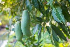 Mango verde de Khiaosawoey en árbol fotografía de archivo libre de regalías