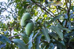 Mango verde de Khiaosawoey en árbol foto de archivo