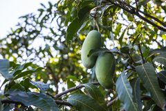 Mango verde de Khiaosawoey en el árbol, Mangifera indica fotos de archivo