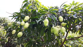 Mango verde en árbol Foto de archivo