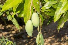 Mango verde sull'albero Immagini Stock