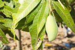 Mango verde sull'albero Fotografia Stock Libera da Diritti