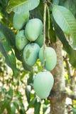 Mango verde in un'agricoltura, Tailandia Fotografie Stock Libere da Diritti