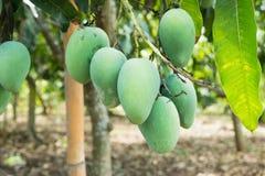 Mango verde in un'agricoltura, Tailandia Immagini Stock