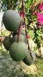 Mango w domu ogródzie przy ranku czasem zdjęcie royalty free