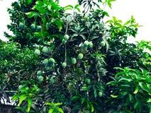 Mango w mangowym drzewie otaczającym z mangowymi liśćmi Langra Aam fotografia stock
