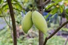 Mango w ogródzie Zdjęcie Royalty Free