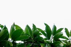 Mango zielony liść obraz stock