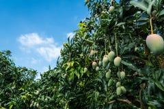 Mangobauernhof Lizenzfreies Stockbild