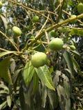 Mangobaum Stockfoto