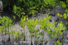 Mangobaum, der im salzigen Gelände wächst Stockfoto
