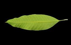 Mangoblätter auf einem schwarzen Hintergrund Lizenzfreies Stockbild