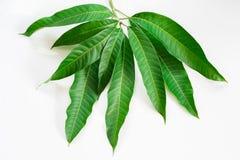 Mangoblätter auf weißem Hintergrund Lizenzfreie Stockbilder