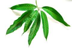 Mangoblätter auf weißem Hintergrund Stockbild